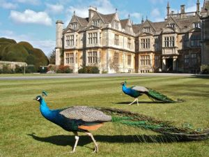 The peacocks at Corsham Court